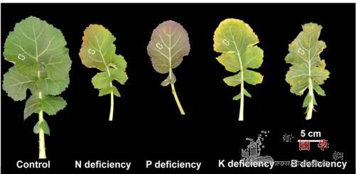 科学家揭示不同肥料调控叶片光合作用机_光合-养分-叶片-