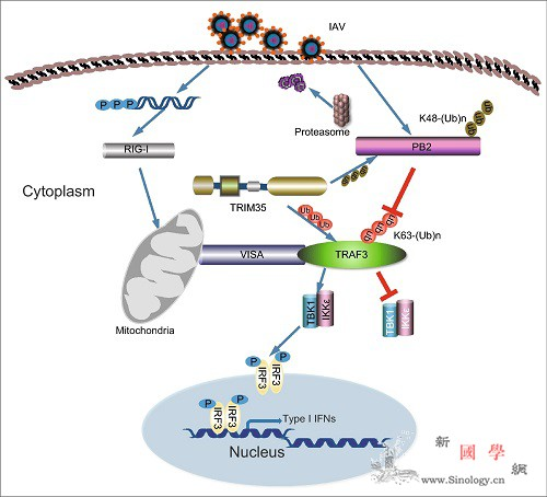 科学家揭示TRIM35抗流感病dup_干扰素-甲酸-流感- ()