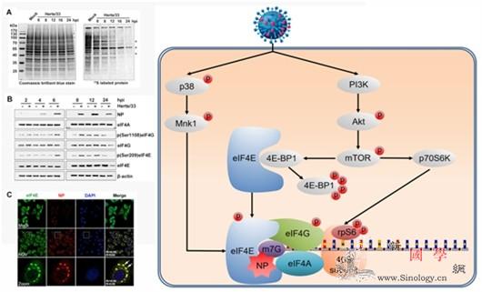 科学家揭示新城疫病dupoison致_宿主-疫病-蛋白-