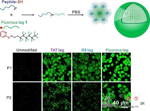 学者开发多肽胞内递送新技术_递送-药物-分子- ()