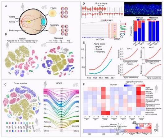 科学家首次解析人类与恒河猴视网膜衰老_恒河-视网膜-穆勒- ()