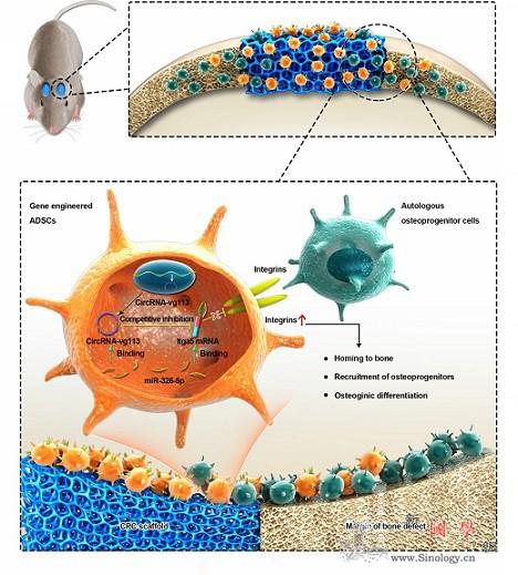 环状RNA促进骨修复机制获揭示_环状-缺损-干细胞- ()
