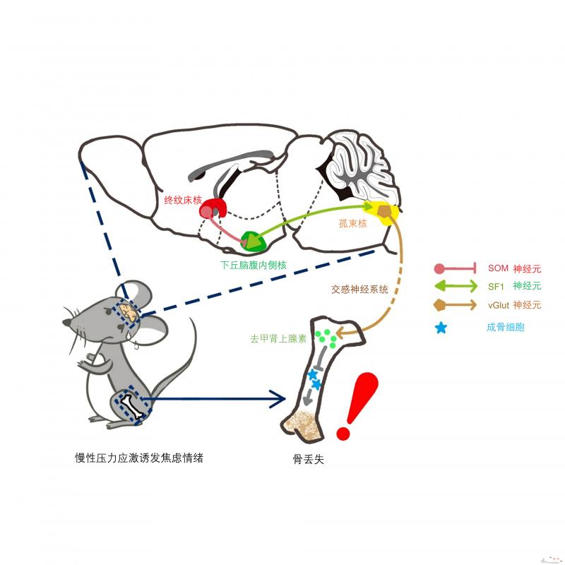 首次发现慢性压力应激引发骨丢失的全新_神经元-焦虑-丢失-