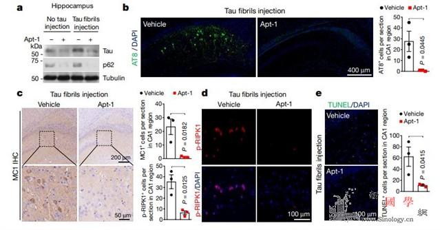 科学家发现靶向TRADD可以同时恢复_稳态-炎症-蛋白- ()