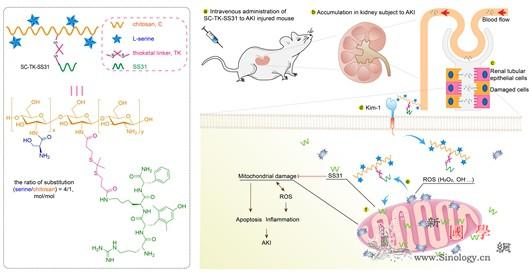 浙大学者提出靶向治疗急性肾损伤新方案_肾小管-线粒体-靶向-