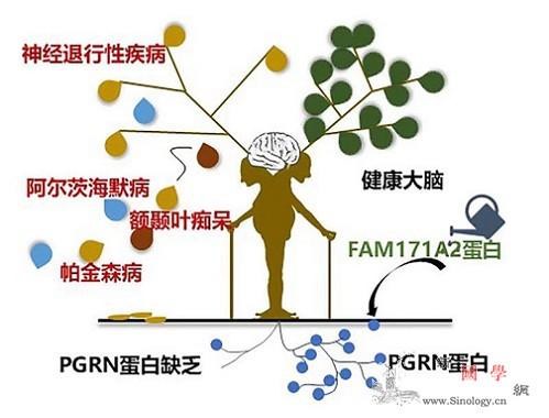 科学家发现神经退行性疾病防治新靶点_性疾病-基因-神经-