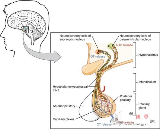 催产素通过脑内投射纤维影响情感行为_轴突-神经元-垂体-