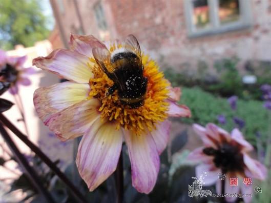 大蜜蜂能找到最好的花_蔗糖-较小-花朵-