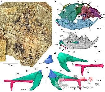 侏罗世化石揭示哺乳动物听觉和中耳演化_锤骨-哺乳动物-头骨- ()