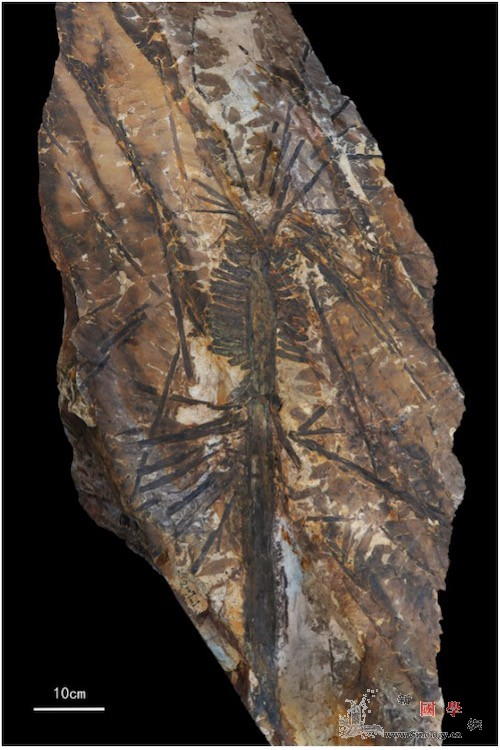 历时百年瓢叶目植物认祖归宗_乌海-裸子植物-石炭-