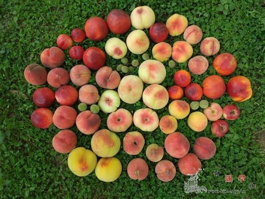"""""""桃李满天下""""的遗传学证据找到了_种质-基因组-桃树-"""