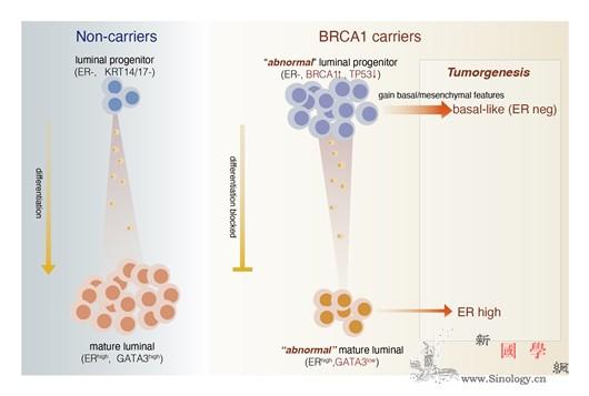 乳腺癌细胞起源及演进过程研究获进展_乳腺癌-演进-乳腺-