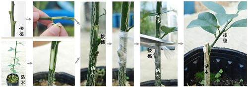 高质量柑橘砧木枳基因组发布_接穗-砧木-组合-