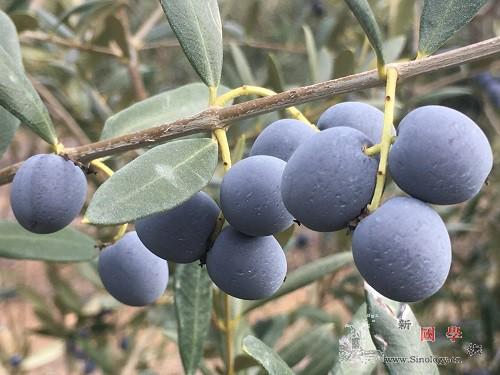 """油橄榄量身定制有了高清""""地图""""_油橄榄-代谢物-木本-"""