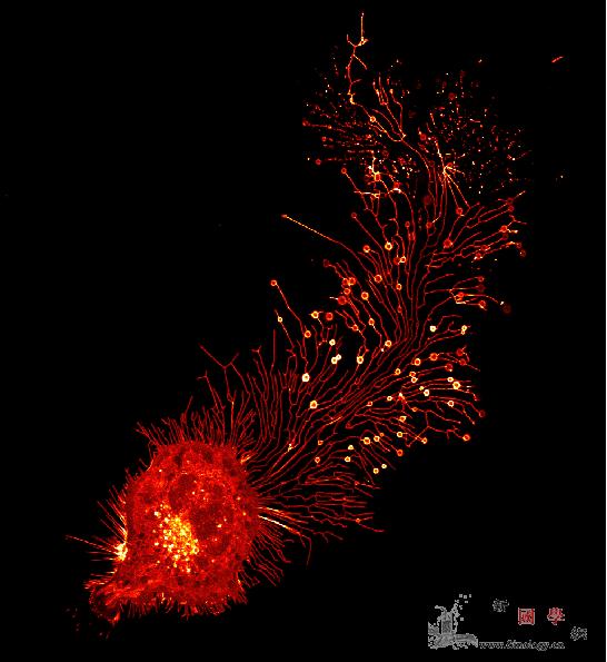 """清华3天2篇CELL都跟细胞""""新大_线粒体-活体-显微-"""