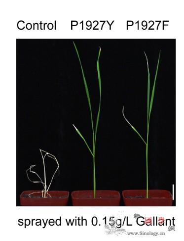 地毯式筛选:引导编辑实现水稻定向进化_碱基-除草剂-水稻-