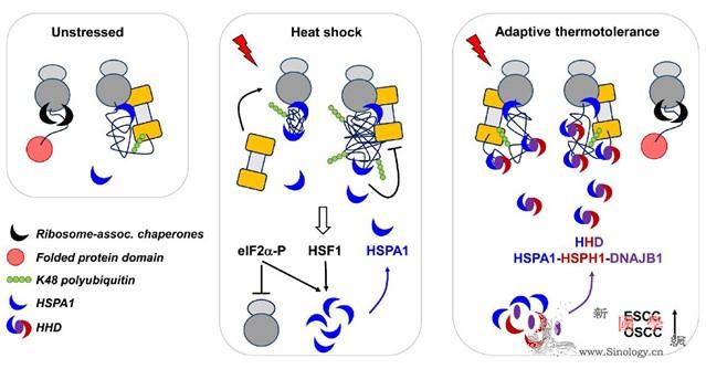 厦门大学团队发现热应激耐受产生的分子_食道癌-耐受-核糖体- ()